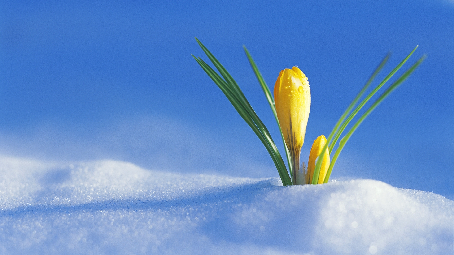 Crocus from snow